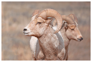 Bighorn Sheep by Pinedrop