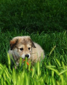 Caucasian Mountain Puppy by AndreiXp