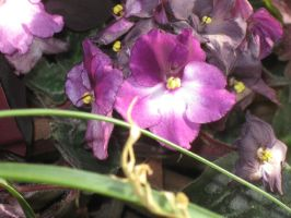 one of my African Violets by crazygardener