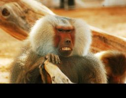 Baboon by reeed