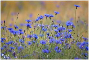 Centaurea cyanus field by Salvas