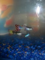Guppies 3 by Kinetic-Passion