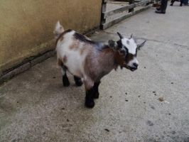 cute Pygmy goat by Duckmad