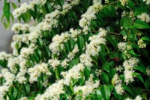 Syzygium sp 2 by inckurei