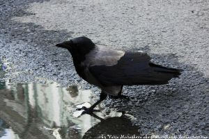 the Crow by Ilman-Lintu