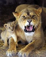 Lioness with son by brijome