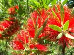 bottlebrush by dreamsnthewind