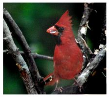 Male Cardinal with Seed Shell by richardcgreen