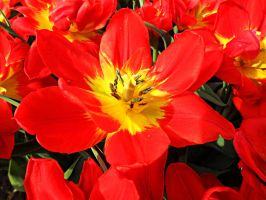 Red Tulip by TheNamelessOne666