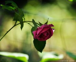 rose in the garden by rockmylife