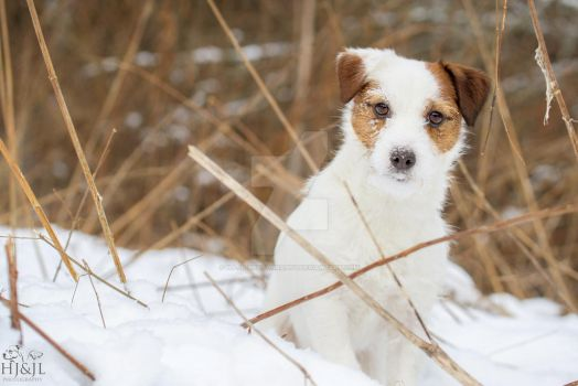 Jackrussell by HJ-JL-Photography