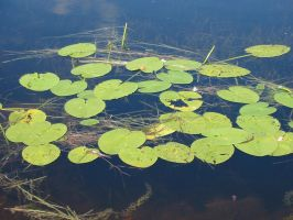 Water 14 Lily Pads by MichaelGBrown