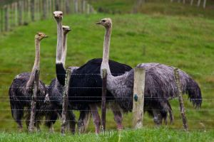 Ostriches by EOSthusiast