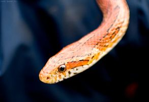 Corn Snake by Sato-photography