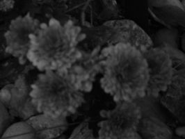 Black and White Mums by LW-Lucy