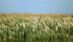 Wheat Field by Tails-155