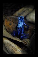 blue frog by Masojiro