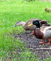 DUCKS IN MY FRONT YARD 13 by sharkbaits