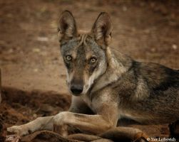 young wolf by Yair-Leibovich