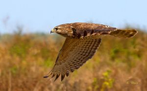 Red Shouldered Hawk Flying by Grouper