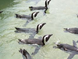 A flock of BlackFooted Penguin by DingoDogPhotography