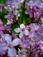 Lavender Lilacs by Maang