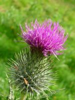 Thistle by Renire-Stock