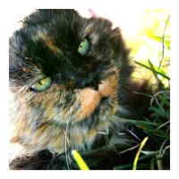 Tortoiseshell from UConn by ChaoticLivi