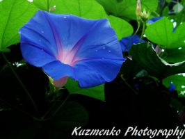 Morning Glory Flower by Alzipalz