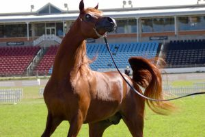 TW Arab Chestnut close up head twisted to side by Chunga-Stock