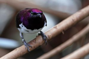Amethyst Starling by robbobert