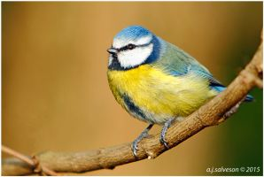 Blue Tit. by andy-j-s