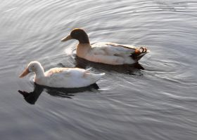 Duck Duo by Photos-By-Michelle