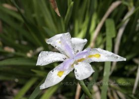 Damp Lily by mechanic