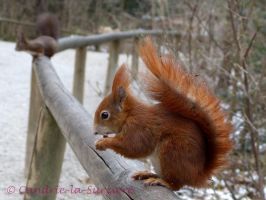 Squirrel 39 by Cundrie-la-Surziere