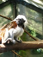 Gaze of the Tamarin by modestlobster