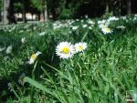 Daisies in spring by KraSea