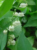 Convallaria majalis by RootStock