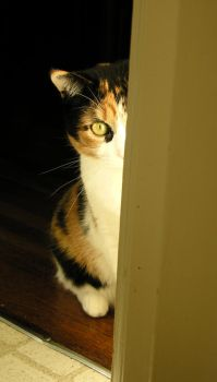 Calico by drockphotography