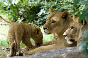 3077 - Lion family by Jay-Co