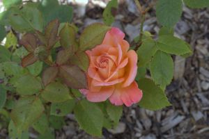 Peach Rose by ZoeCoombesPhoto