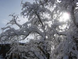 sun through snowes branches by CotyStock