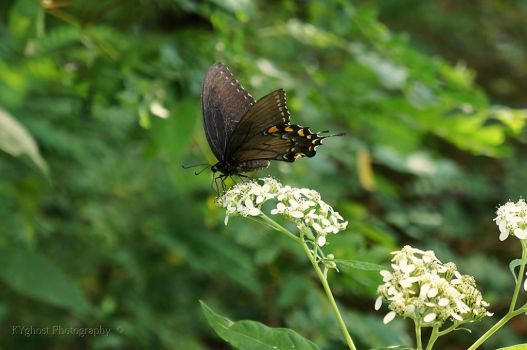 Spicebush Swallowtail by KYghost