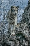 tree wolf 3 by Yair-Leibovich