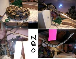 Neo the Ball Python by Maszeattack