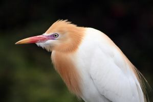 Cattle Egret in breeding plumage by Ravenari