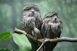 Tawny frogmouths by MegMarcinkus