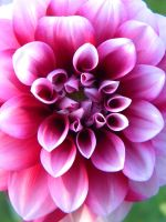 Dahlia by SweetSummerSoul