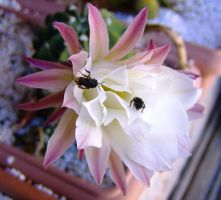 Bees on cactus flower 2 by Star-Clair