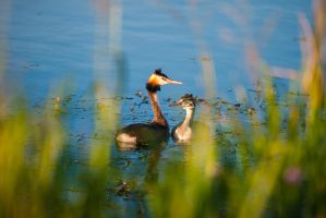 Great Crested Grebe by Lindqvist